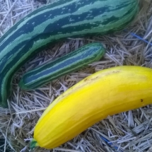 courgette-2