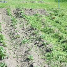 aardappelen, half gemulchd 29 mei (14)